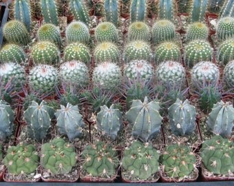 20 Party Favors Potted Mini Cactus Collection in 2 inch Pots
