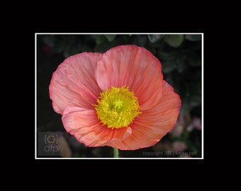 Coral Pink & Yellow Poppy Matted Delicate Flower Photography Print, Home Décor, Wall Art