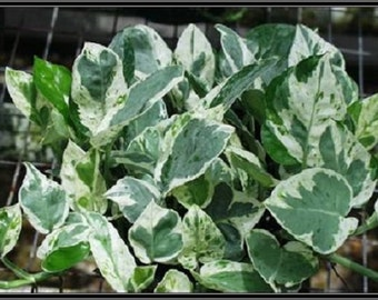 Green & White Variegated Pearls and Jade Pothos Starter Plant