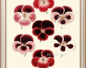 Botanical Print PANSIES H23 Beautiful 8X10 Antique Red Pink Pansy Graden Flower Art Room Decoration Wall Art to Frame Spring Nature