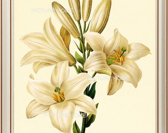White Lily Flower Botanical Print 89 Beautiful 8X10 Antique Redoute Art Room Decoration Wall Art to Frame Garden Nature Summer Spring