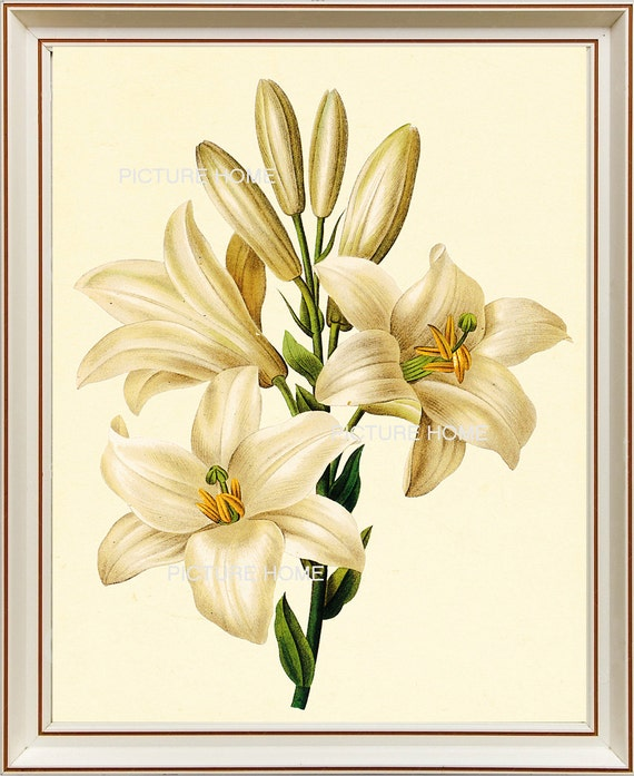 White Lily Flower Botanical Print 89 Beautiful 8x10 Antique