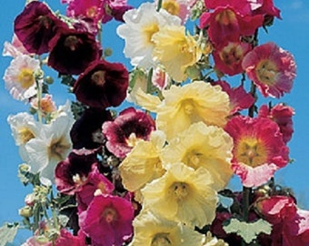 35 Old Fashioned Giant Single Hollyhock Mix Flower Seeds / Perennial