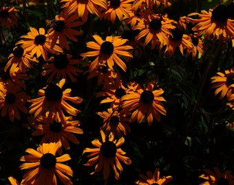 Flower photograph, multiple coneflowers in morning sun, rich orange color,  dark background
