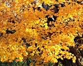 Autumn Gold / Brilliant Fall-color Display of Maple Leaves / High Res Giclée Print / Original Color Nature Photography