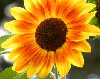 Summer's End Colors, RGTPhotos, Wall Art Photography, Yellow, Orange, Green, Sun Flower, Eye catching,
