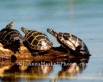 Three turtles-  8x10 Fine Art Nature Willdlife Photography of 3 painted turtles on a log