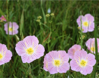 1,000 *HEIRLOOM* Pink Evening Primrose Seeds