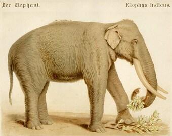 """Large Matted Antique Elephant Print C. 1870 Vintage Decor 15x13"""""""