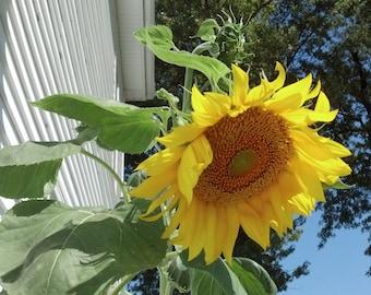 Mammoth Sunflower Seeds (25ct)  Organic