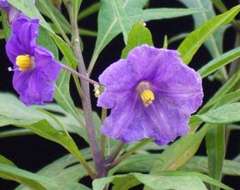 10 Solanum nicandera ,Shoo-Fly Plant, Seeds