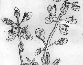 Wild Lupine - Original Etching & Engraving, Hand-printed, Limited Edition
