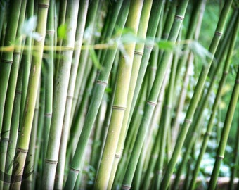 Nature Photography.  Bamboo Photography. 8x12 Print