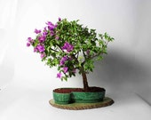 Pixie Bougavilla Bonsai Tree