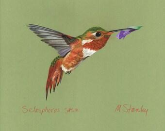 Print of an original pastel drawing of a hummingbird Selasphorus sasin