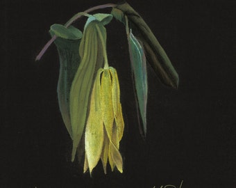 Print of an original pastel drawing of a bellwort wildflower