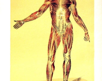 The Muscular System - 1927 Human Anatomy Print - Vintage Book Plate 7 x 10