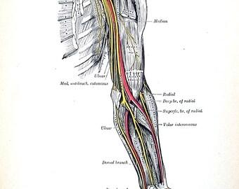 The Human Arm - Nervous System  - 1918 Human Anatomy Illustration - Vinatge Anatomy Book Page