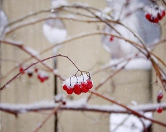 red berries fence backyard winter snow nature photography home decor hotel motel decor