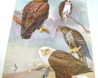 Vintage Bird Prints, Bird Portraits In Color, Allan Brooks Pictures of Golden Eagle, Osprey, Bald Eagle, Wildlife, Woodland   (494-13)