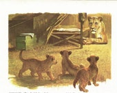 Vintage Animal Print - Lion Print - Lion with Cubs - Book Plate - Vintage Book Print- Readers Digest - Animal Story Book - 1970s