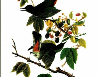 Bird Print - Gray Catbird - Vintage Art Print - Audubon Book Plate, Print - Catbird - Birds of America - John James Audubon - 1970s
