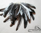 """Wing Feathers Black and White Feathers Real Bird Feathers Natural Feather Assortment Silver Laced Hen 20 @ 2 - 4"""" 1358 (Gallus domesticus)"""