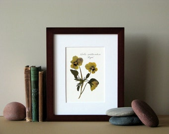 "Pressed flower print, 8"" x 10"" matted, golden yellow Viola flowers, Tiger Violas, no. 014"