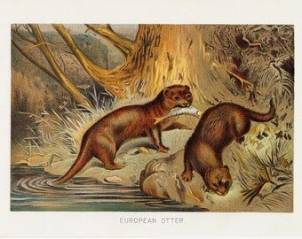 1901 Antique OTTER print,  fine Chromolithograph of a European otter, original antique gorgeous print