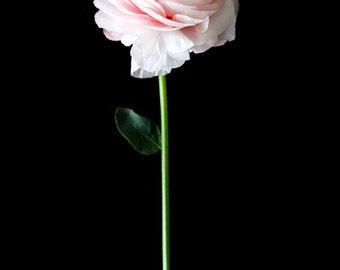 Light pink ranunculus with stem