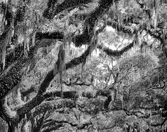 Charleston, South Carolina - Avenue of Oaks - Boone Hall Plantation  - Fine Art Photograph Oak Trees Spanish Moss 5x7 8x10 11x14 16x20 24x30