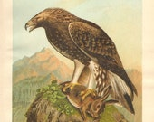 1903 Original Antique Lithograph of the Golden Eagle