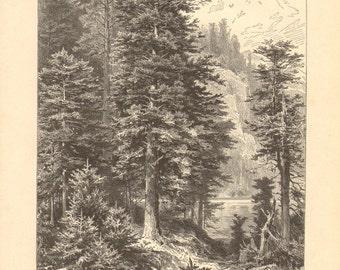 1897 Silver Fir Forest Original Antique Engraving to Frame