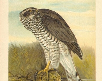 1903 Original Antique Lithograph of the Northern Goshawk