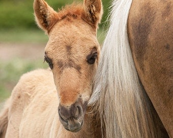 Tail Chewer - Fine Art Wild Horse Photograph - Wild Horse - Fine Art Print - Pryor Mountains
