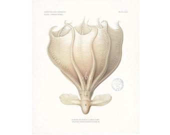 Antique Cephalopoda Natural History Nautical Giclee Art Print  8x10
