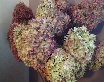 dried hydrangea flowers