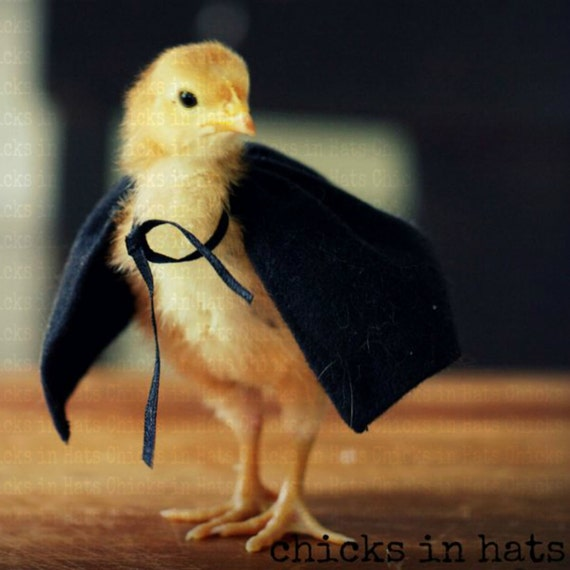 Postcards Chicks in Hats Baby Chick Pretending to be Mysterious in Black Cape Post Cards (4) SALE