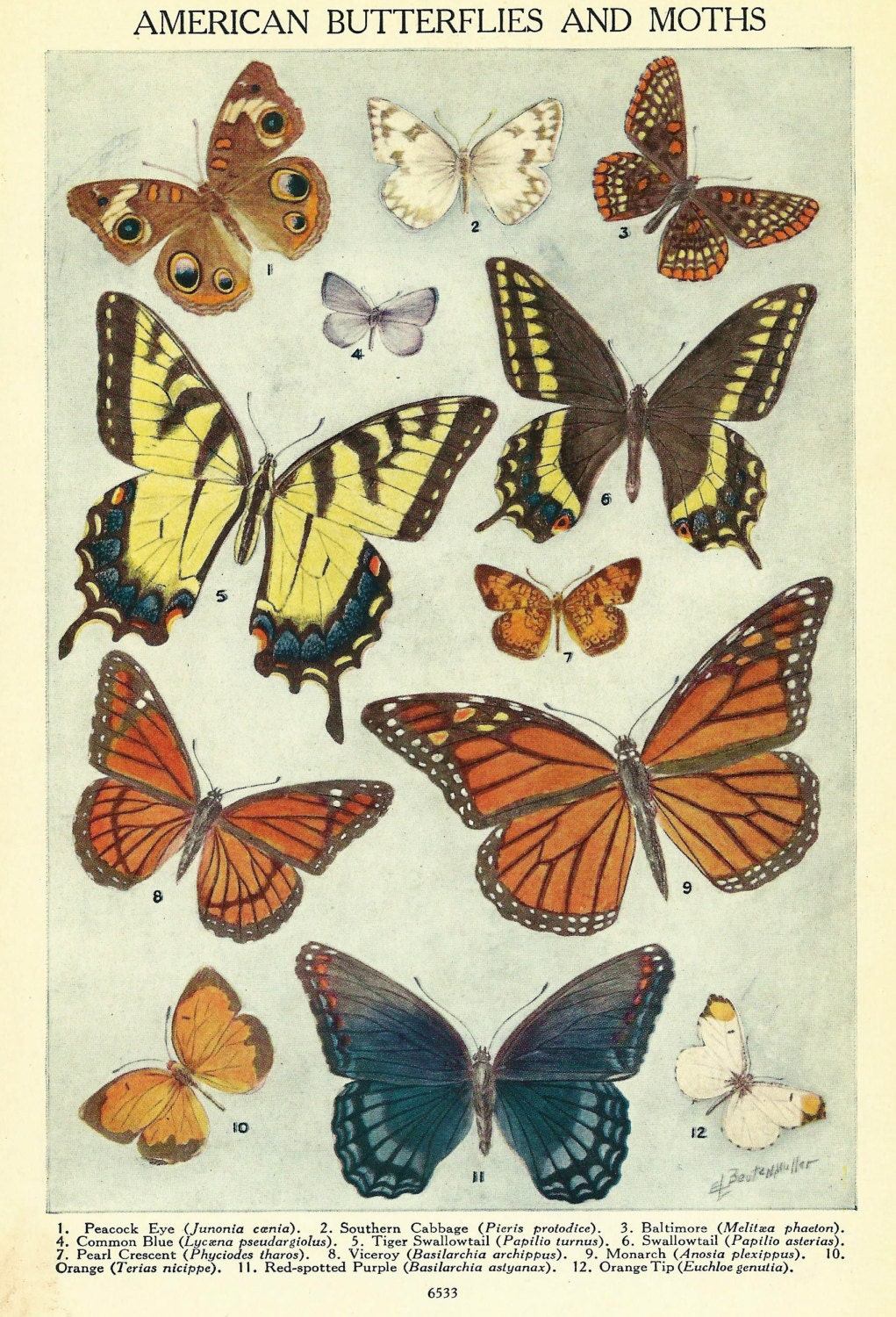 Vintage Butterfly Illustration 1930 S American