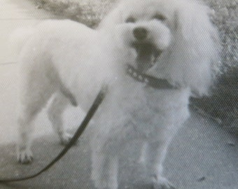 1950's Poodle Returns From The Groomer Pretty As A Picture Snapshot Photo - Free Shipping
