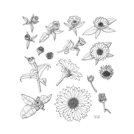 Marigold Flower Line Drawing : Items similar to calendula anatomy black and white