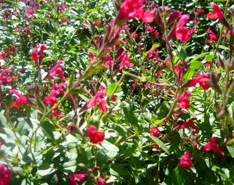 Maraschino Cherry Sage (Salvia) live plant (Ornamental)