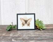 CLEARANCE SHOP CLOSING Vintage Taxidermy Butterfly Under Glass / 1950s Oddity Wall Hanging / Scientific Entymology