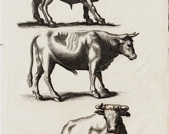 1657 Antique OX print by Merian, DOMESTIC OXEN, handmade paper, original antique print 356 years old