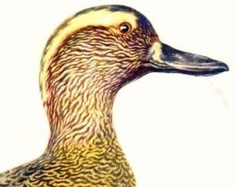 Gargany Duck Anas Querquedula Bird Ornithology Natural History Lithograph Print 1960s Illustration To Frame 102
