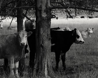 Fine Art Photography Pastoral Scene Cow Photography Archival Print Gift Under 50 Gift for Cow Lover