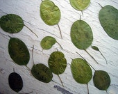 Real Pressed Flowers by Petal Annie (Loose) -  12 Green Honesty Seed Pods - For Your Art Project - Flower shown is an example