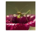 Praying Mantis Print Photograph Insect Entomology Natural Art Affordable Nature Art Green Insect Bokeh Natural Light