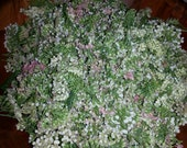 Yarrow Flower Hydrosol for Skin Care from Fresh Yarrow Flowers-SALE