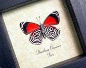 Real Framed 88 Butterfly Amazing Insect 339